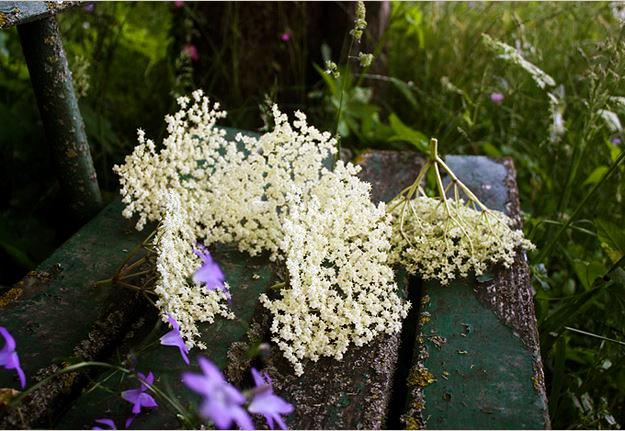 Elderflower Heads Elderflower Umbels