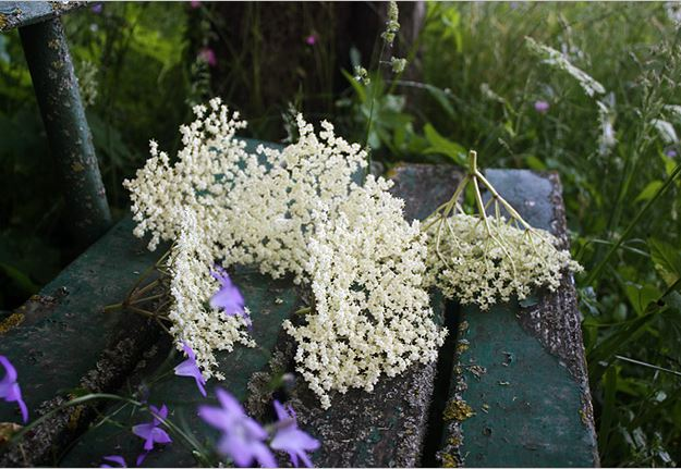 Elderflowers for Elderflower Fritters