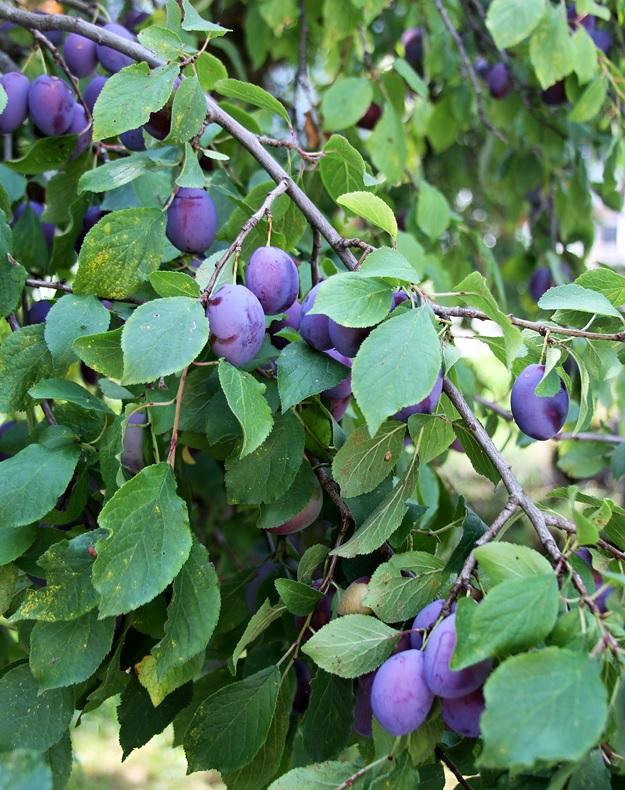 Italian plums damsons